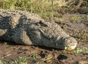 Crocodylus_niloticus_in_Lake_Chamo_02